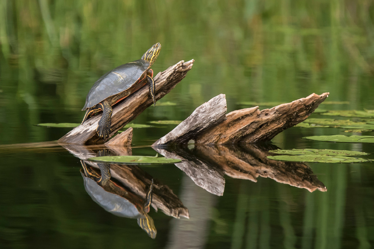 This summer has been a good one for taking pictures of Painted Turtles at our lake home in northern Minnesota.  Several logs that stick out of the water are reliable places to find turtles soaking up the sun.  I especially like it when the water is calm and I can get a nice reflection in the photo.