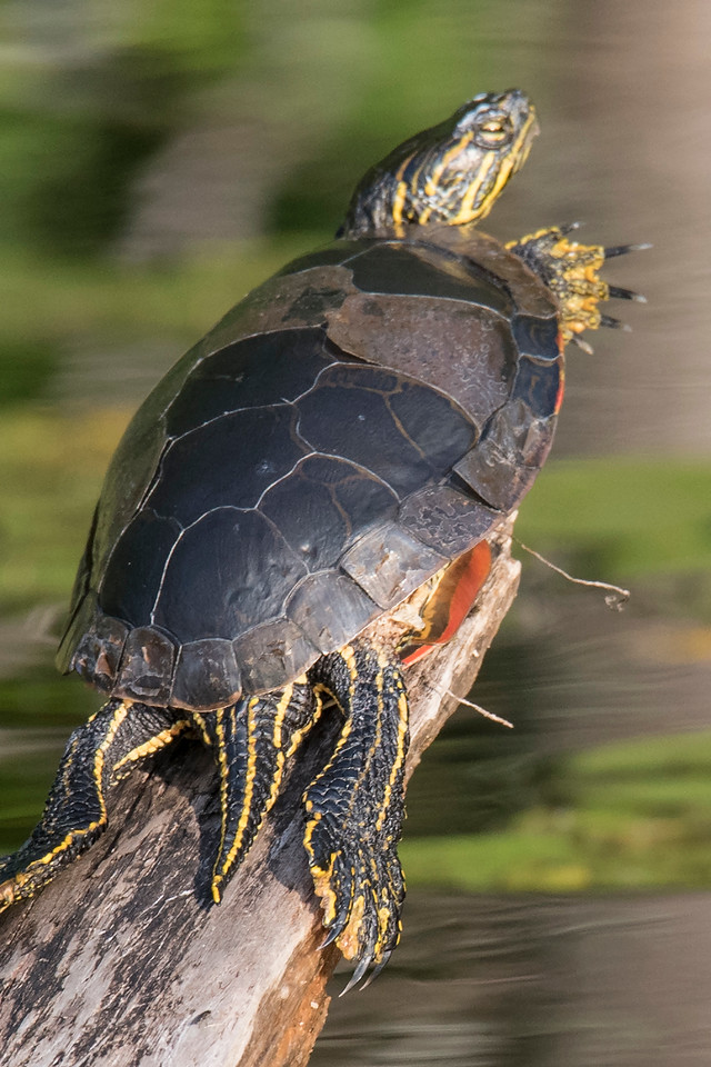 Here's a different turtle that is starting to shed its scutes.