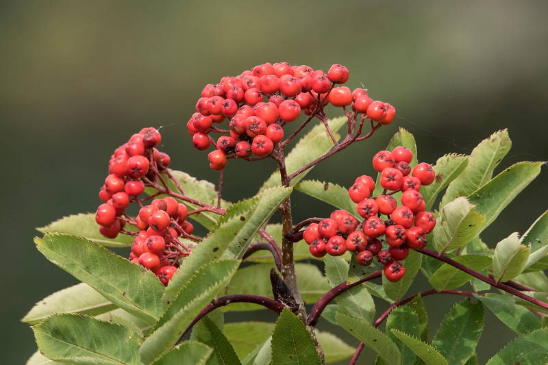 Diana and I are just back from our annual Fall trip to the North Shore. Mountain Ash trees seem to like the climate along the lake and they produce red berries like these. The berry crop seemed greatly reduced this year but we did find some in the town of Grand Marais.