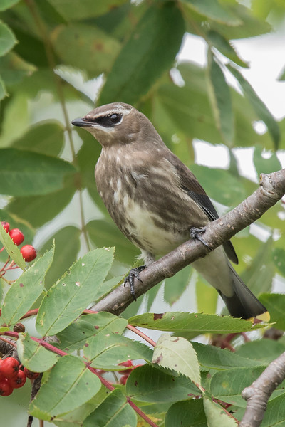I also found a small flock of Cedar Waxwings near the campground in Grand Marais. The streaky brown plumage identifies this bird as a juvenile.