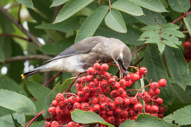 My camera allows me to take a burst of photos by continually holding down the shutter button.  I think it takes 6 pictures per second. I took several sequences of a bird plucking and eating a berry.  Here's the first shot in this series of 8 photos.