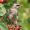 Cedar Waxwings are fruit eaters so the Mountain Ash berries provided them with a feast.