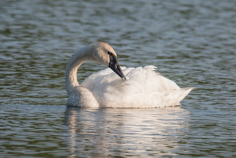Bird feathers need constant attention.  The swans seemed in no hurry to move on and this one began preening its feathers.  Preening means a bird pulls each individual feather between its bill to straighten and clean the feather.