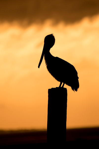 One morning I was birding along the coast in Eastpoint, Florida, at sunrise.  This Brown Pelican was resting on a pier and was backlit by the sun which was coming up between the water and the clouds above.