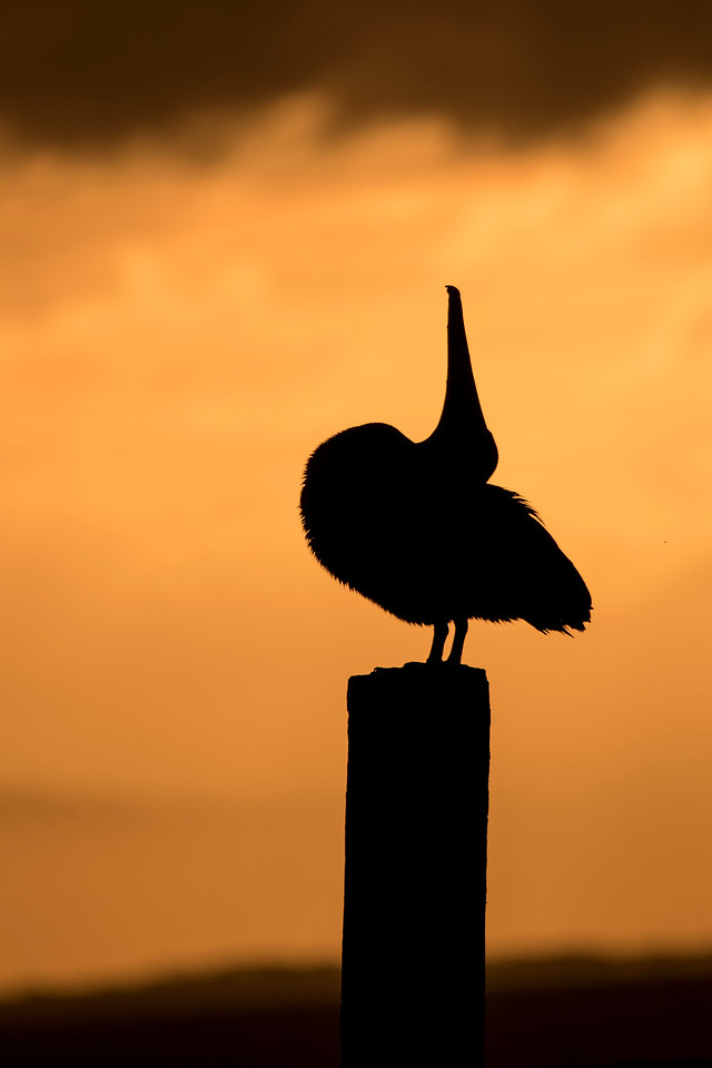 The pelican shifted its position, creating this unusual pose.