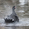 Some of the ducks were bathing and producing a huge amount of water spray with their wings.