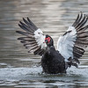 This flapping Muscovy Duck shows how large the white wing patch actually is.