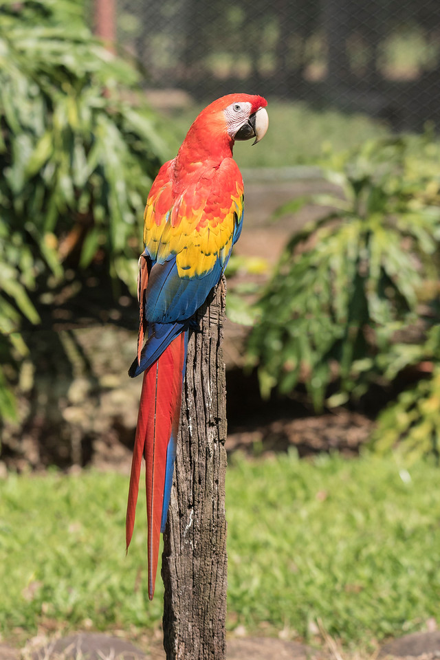 I'm a birder, so one of the most spectacular experiences of our recent trip to Costa Rica was a visit to a Macaw sanctuary farm.  It provides a safe place for the birds to live and breed.  The goal is to return these birds to the wild.  This is a Scarlet Macaw.  It is about three feet long, including the long tail.
