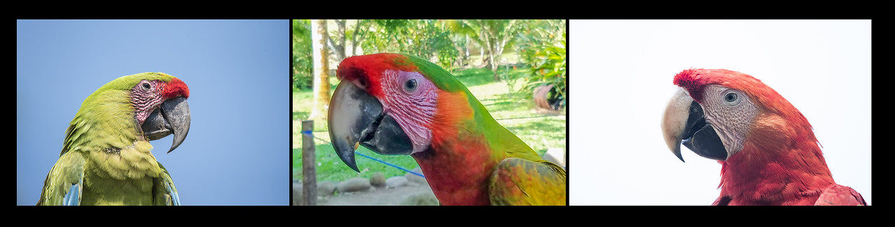 Mating between a Great Green Macaw (left) and a Scarlet Macaw (right) produces a hybrid (center).  Note the interesting mixture of red and green feathers on the hybrid bird.
