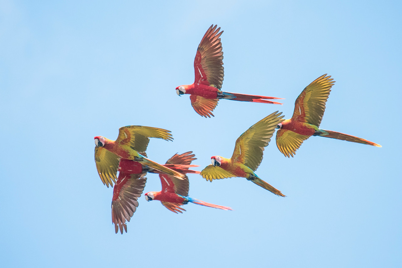 I managed to get a photo of these Macaws flying overhead.  There are three Scarlet Macaws and three hybrids in the photo.  Can you pick them out?