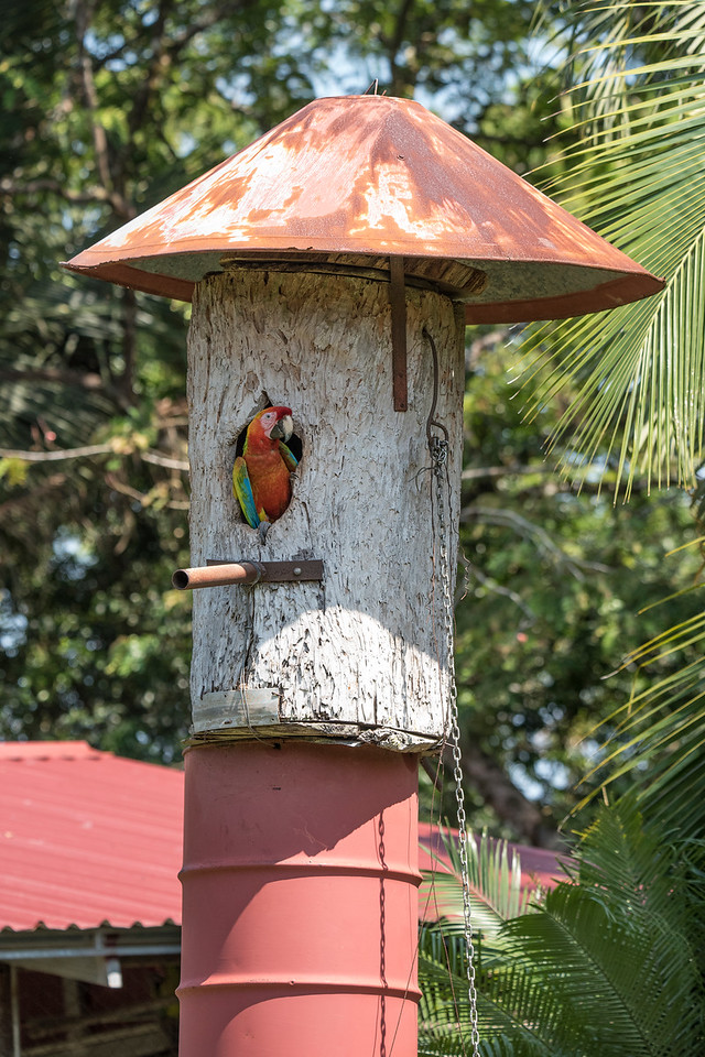 The farm provides nesting boxes for the Macaws to facilitate breeding.  Macaws are large birds, so the nesting box is made from the trunk of a big tree.  The 55-gallon drum on which the box is sitting provides some perspective.