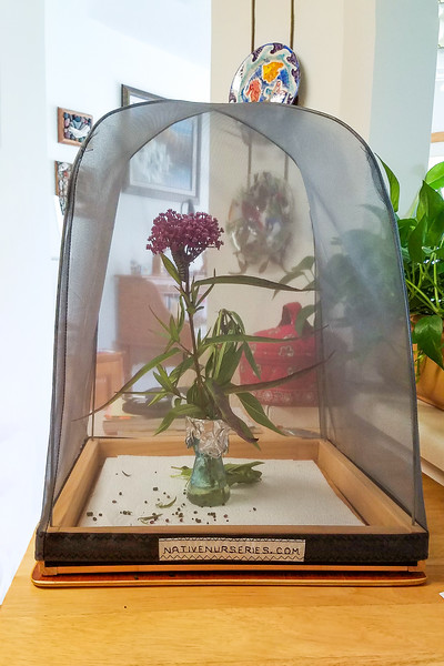 Several years ago, when we were in Florida, we bought this net cage from a store called Native Nurseries.  It is designed specifically for raising butterflies.  We put the plants in some water and let the caterpillars feast on the leaves inside the cage.