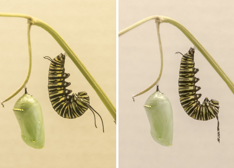 "I was determined to photograph the other caterpillar changing into a pupa, so when it moved into the ""J"" shape, I watched it closely.  The photo on the left was taken at 11:30 in the morning.  The other photo was taken at 7:30 that same evening.  Notice that the shape of the caterpillar has changed, and the antenna look shriveled up."