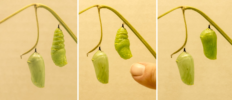 The photo on the left shows the pupa just after it has wriggled out of the caterpillar skin.  The center photo was taken 13 minutes later.  Notice how the pupa has already started to change its shape.  Diana's finger is in this photo to give a size comparison.  The photo on the right was taken 40 minutes later than the center photo. The pupa is now the same shape as the older one.<br /> <br /> Next week:  The butterfly emerges!