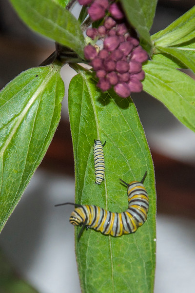 Diana and I decided to try raising two Monarchs this year.  We found two caterpillars at our lake home.  The bigger one is at least several days older than the smaller one.  There are many Swamp Milkweed plants around our lake, so we picked some leaves and flowers.