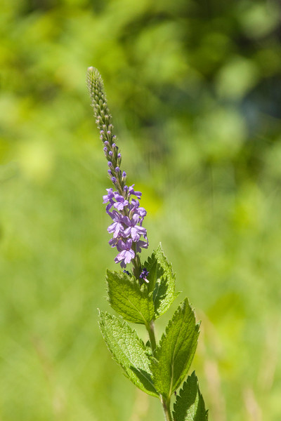 Hoary Vervain also started flowering on July 13.  The flower stalk is at the top of the plant and the tiny, individual flowers open first at the bottom and progressively open up to the top.