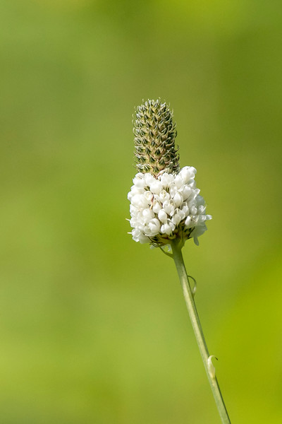 White Prairie Clover started blooming on July 22.