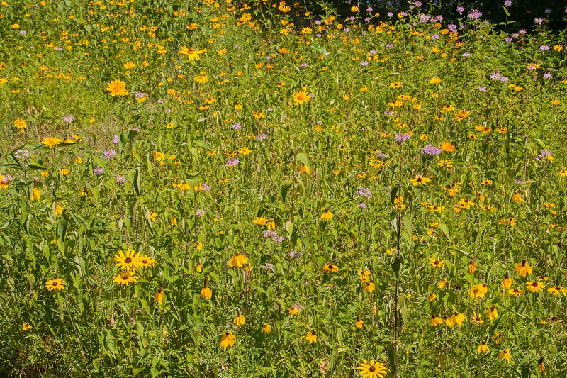 A closer photo reveals the usual abundance of flowers, including Wild Bergamot (the purple flowers in this photo), Black-eyed Susan, and Sunflower.