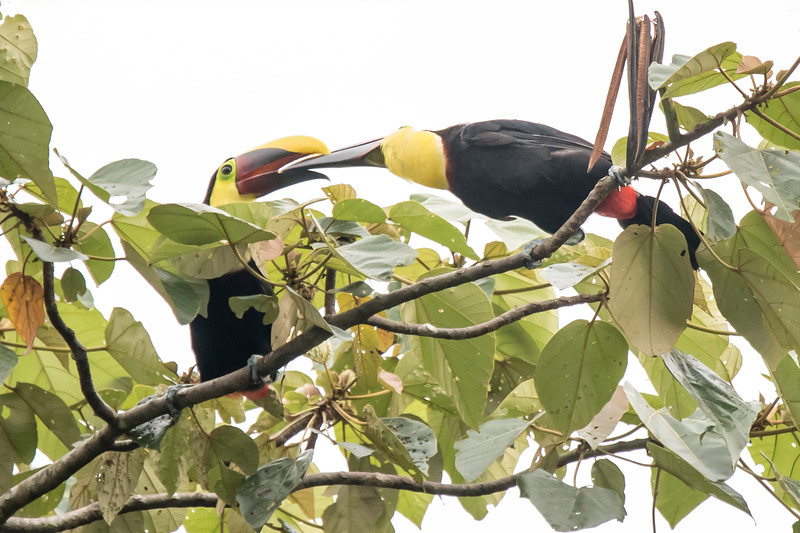 I photographed these two Yellow-throated Toucans at the Rainforest Lodge.  I think the bird on the right is feeding the bird on the left.