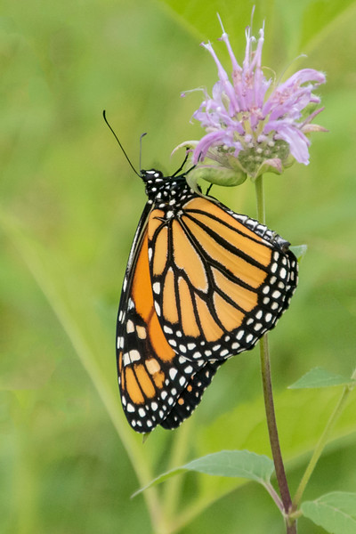 We took the Monarch out into our wildflower garden and put it on a Wild Bergamot flower.  It stayed there for several hours, drying its wings and acclimating to the outdoors.  Here you are seeing the underside of the wing.
