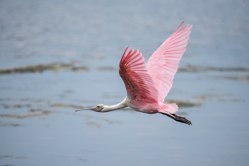 The unique, pink feathers of the Roseate Spoonbill are on full display when the bird is flying.