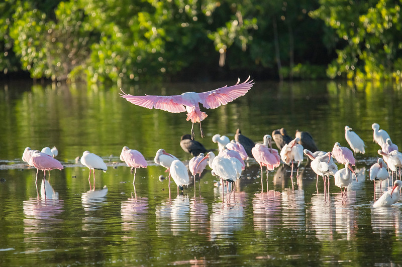 In the evening, Spoonbills, Ibis, and other birds gather in this shallow area of water along the wildlife drive.  This is a safe place for them to spend the night.  Here is a Spoonbill coming in for a landing.