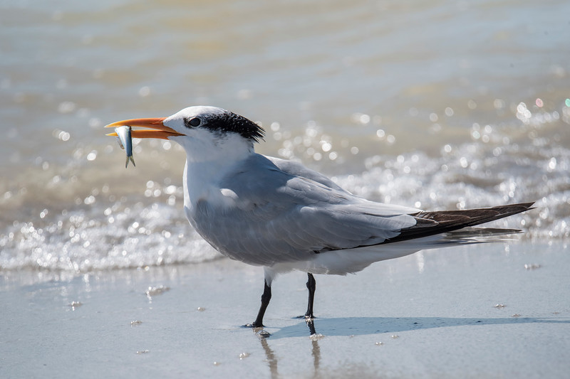 Here's a Royal Tern with a small fish in its mouth.  I didn't see any of these birds actually catch the fish; I just saw them carrying their lunch along the beach.