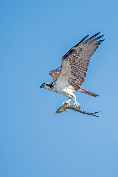 I walked one of the trails at Ding Darling NWR.  As I stood at the end of the trail, this Osprey flew by with a fish in its talons.  Notice how the Osprey is holding the fish parallel to its own body.  It does this to minimize air resistance and make it easier to fly while holding its catch.