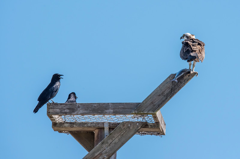 This is the same bird as shown in the previous photo.  It is perched on a nest platform built for use by an Osprey.  Obviously, the nest has not been started yet.  Those Fish Crows would gladly take the Osprey's catch away if they could.