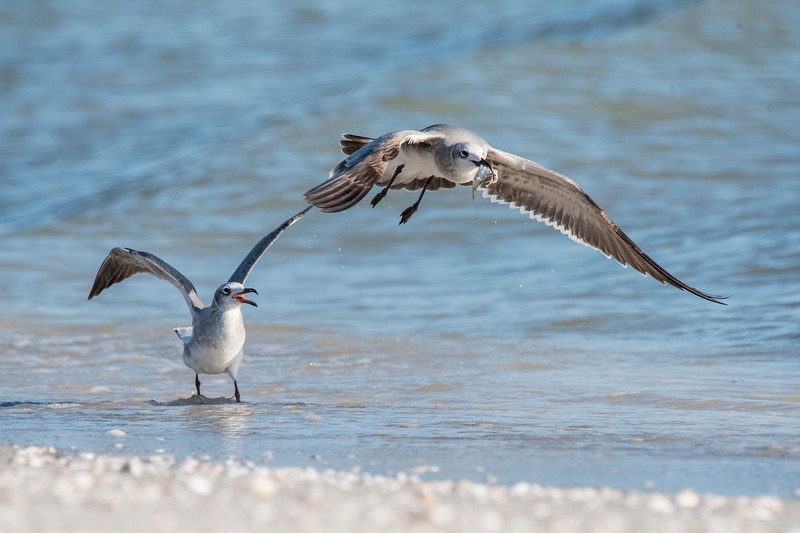 Here is another juvenile Laughing Gull. (This photo and the first one were taken on different days.)  I can't tell if the gull standing in the water is trying to take the fish away, or if it just lost the fish to the bird that is flying away.