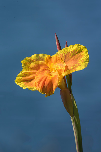 This is a Canna Lily.
