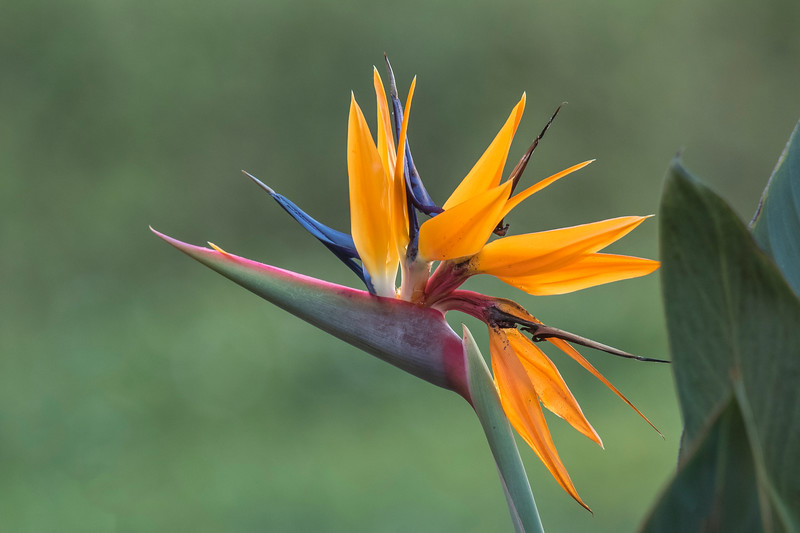 Diana's conference was held at the Disney Coronado Springs convention center in Orlando, Florida.  While she attended meetings, I roamed the hotel grounds taking photos of the beautiful flowers, like this Bird of Paradise.