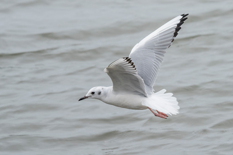 Unlike larger gulls, the Bonaparte's Gull rarely eats carrion or visits garbage dumps.  Also unique among gulls, it nests in coniferous trees over most of Canada.  In winter, it's found along both coasts of the United States and in the Great Lakes.