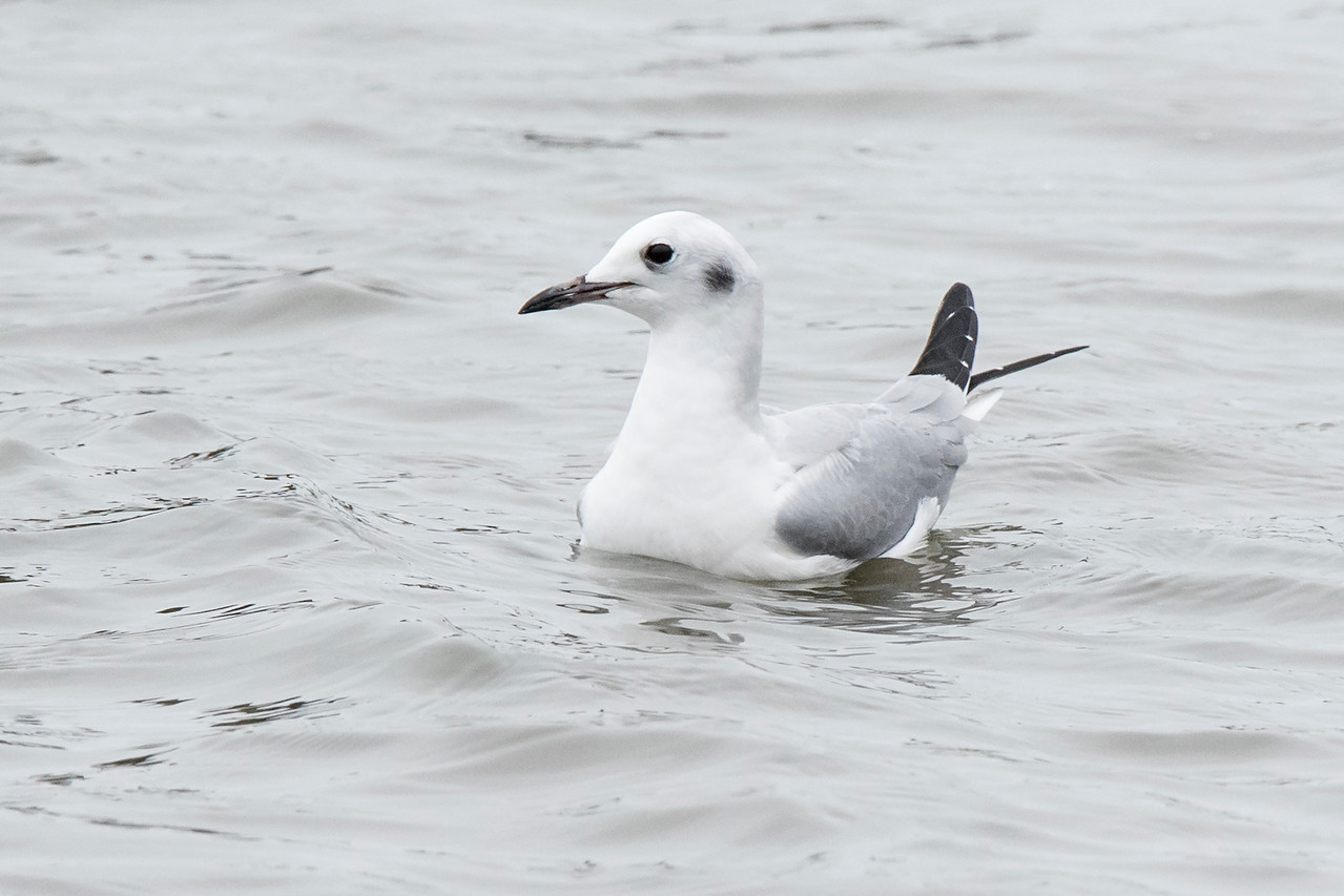 I saw this Bonaparte's Gull floating near shore in the Apalachicola Bay in Eastpoint, Florida.  I started taking photos of it because I wanted to get some flight shots showing their unique foraging style.  Not only did I photograph it in flight, but I got a bonus as well (see the last photo.)