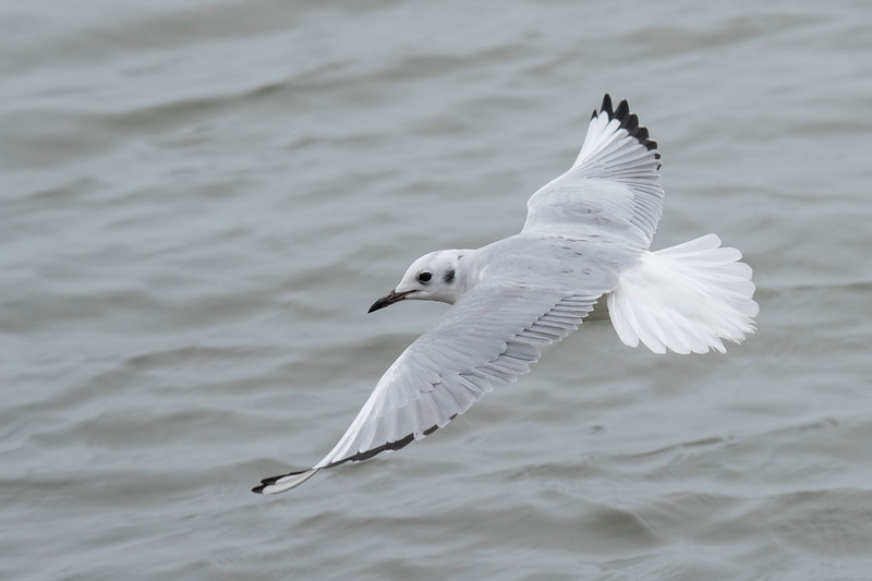 Bonaparte's Gull, at 13½ inches, is the smallest regularly seen gull in North America.  It is named after French zoologist Charles Lucien Bonaparte, a distant cousin of Napoleon.  This gull has an all-white tail, gray back, mostly gray wings with black tips, and a few white wing feathers.  The black spot behind the eye is typical of its non-breeding plumage.  Breeding plumage is very similar, but the head changes to all black.
