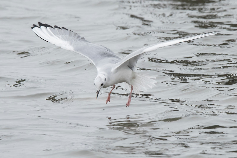 Searching for insects, crustaceans, and small fish, this gull slowly flies only two or three feet above the water.  It can hover in place to get a better view below the water.  Notice the pink legs dangling down.