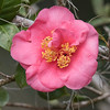 And here is a deep pink Camellia.  I was also interested in seeing how the shape and arrangement of the petals is quite different from the Japanese variety.