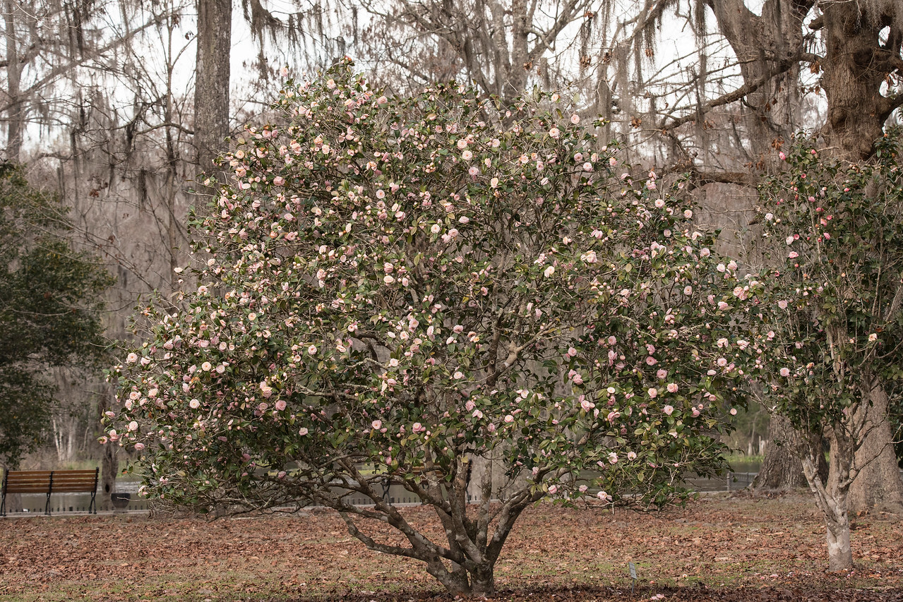 I'm not sure if this Camellia is considered a tree or a shrub but it was just loaded with blossoms.  They generally don't grow more than about 20 feet tall.