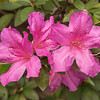 I found this grouping of Azaleas to be very attractive.