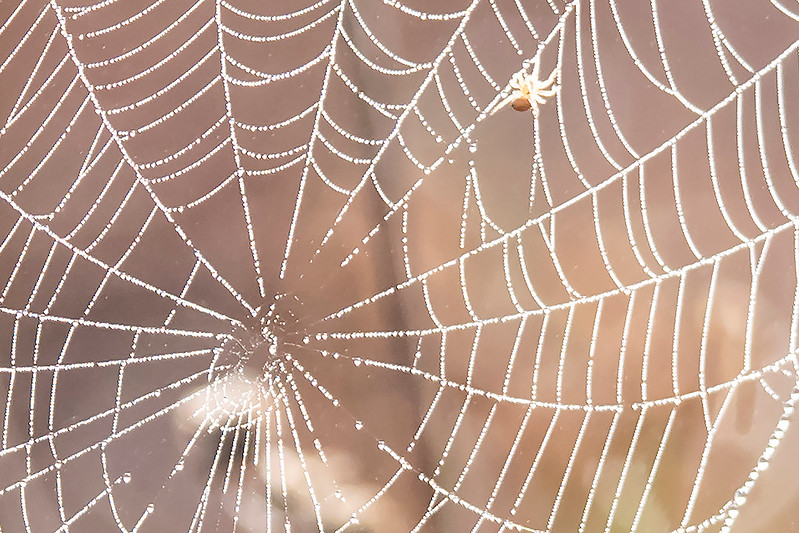 Here's a close-up of the previous web showing how tiny drops of water collect along the strands of silk, like beads on a necklace.  Note the spider in the upper right portion of the photo.