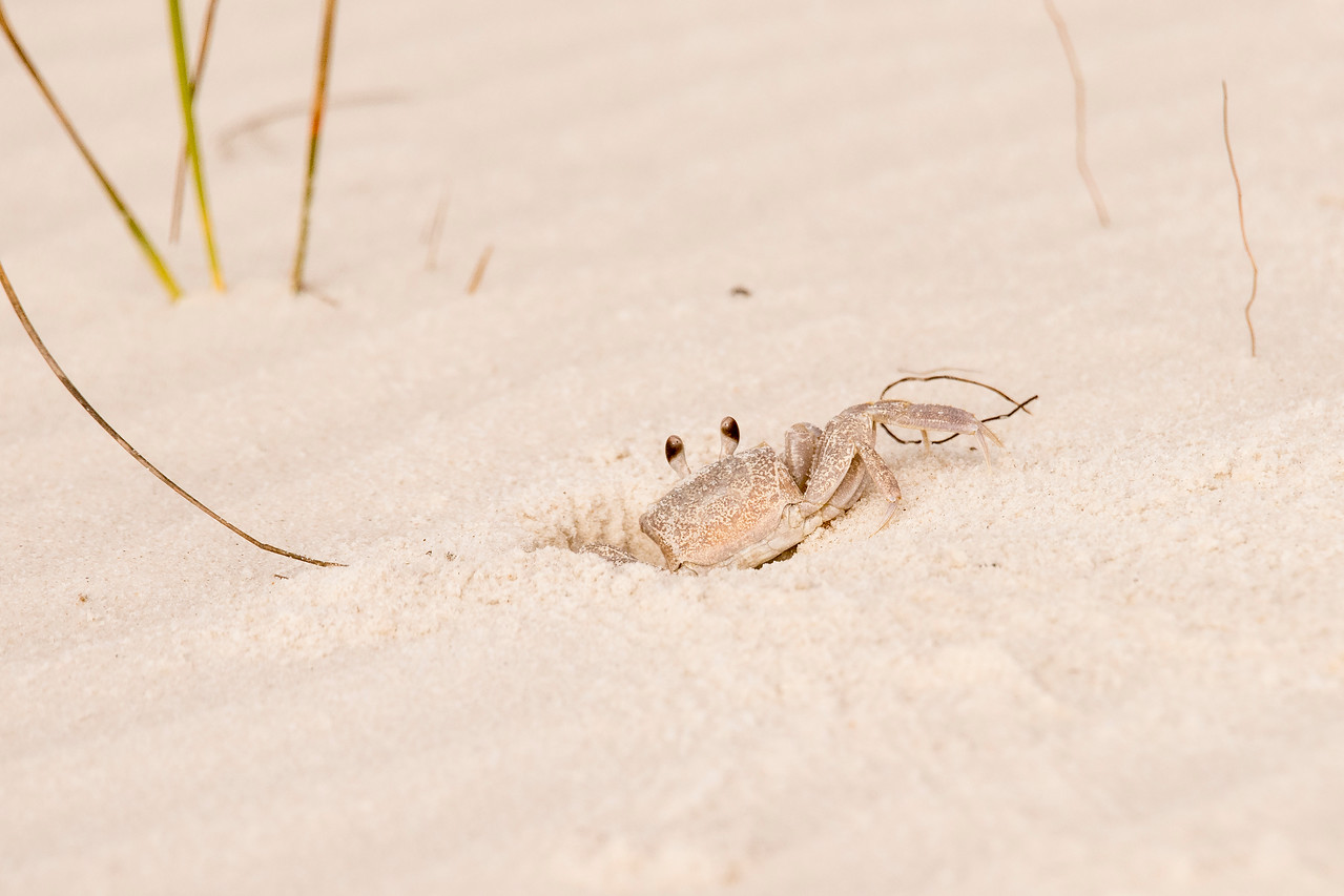 This has nothing to do with spiders, but I also walked the beach at St. George Island State Park and photographed this Ghost Crab.  It is just at the edge of its hole, ready to disappear at the first sign of danger.