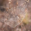 Most of the webs I saw at the state park were of this variety; strands of silk extending out from a central point like spokes on a wheel.