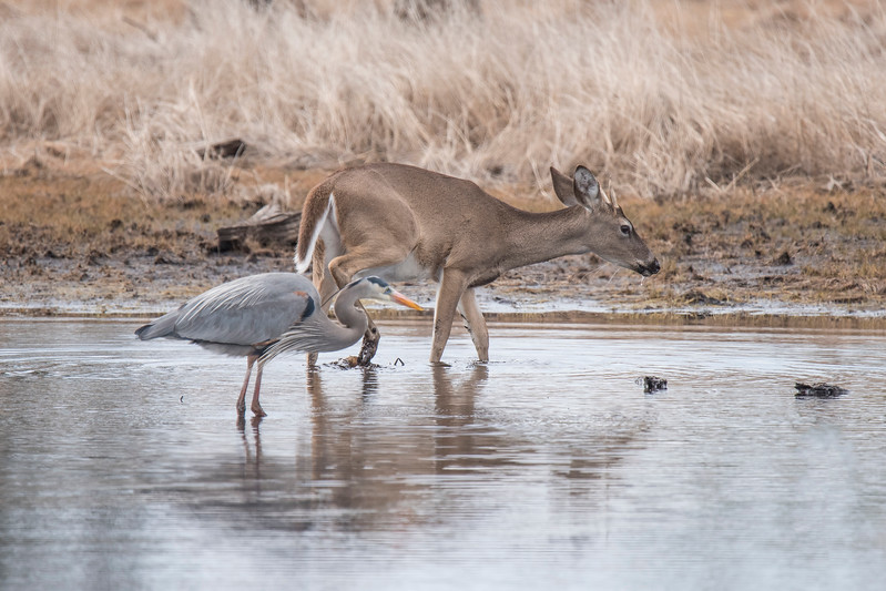 Across the road from Gator Lake there were some shallow ponds.  This heron and deer were both feeding in the pond.  I'm sure this is the first time I have taken a photo of a White-tailed Deer and a Great Blue Heron this close to each other.