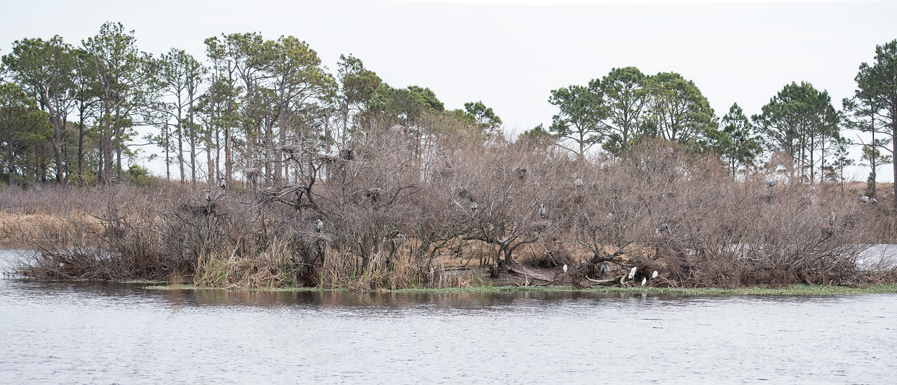 Diana and I visited St. Andrews State Park in Panama City Beach, Florida, last week.  There is a pond within the park called Gator Lake.  Alligators like to bask in the sun, but it was cloudy and cool the day we were there, so we didn't see any gators.  This island is in the middle of Gator Lake and there's a small Great Blue Heron rookery on the island.  Some of the herons and their nests can be seen among the trees on the island.