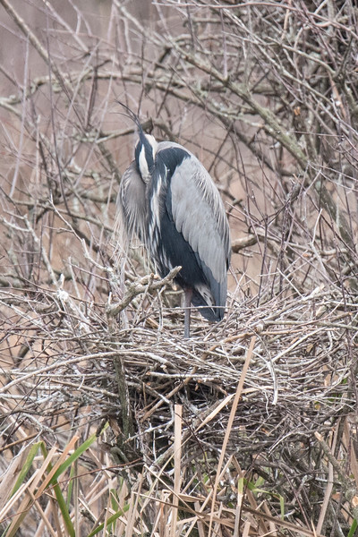 Here's a close-up of one heron and its nest. You can see that the nest is a messy jumble of sticks woven together.  The bird looks funny because it has its head tucked under its wing.  I'm pretty sure it's too early for eggs in the nest.