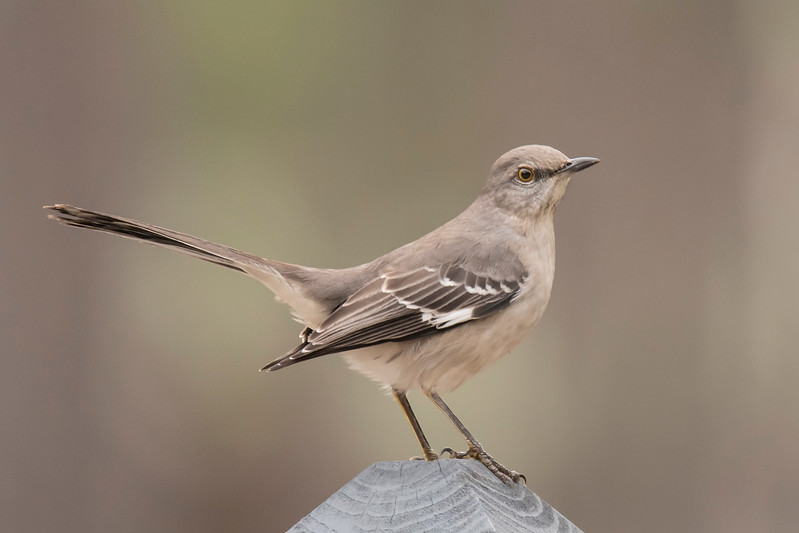 We're back in Florida again, staying on St. George Island, where we have been coming for the last 18 years.  One of the things I like about coming to Florida is seeing birds that are common here but rarely seen back home in Minnesota.  This Northern Mockingbird was photographed at a park near the home we are renting.