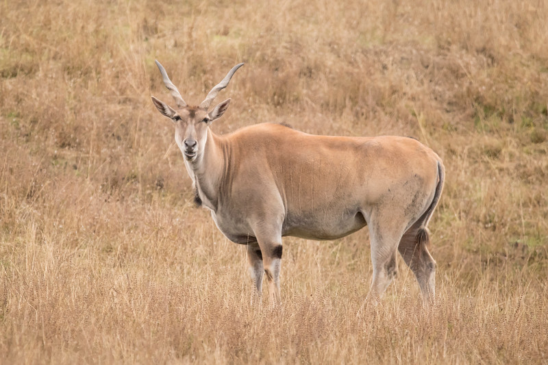 Common Cape Eland are found in southern Africa.  They are large antelope, with males measuring 5 feet tall at the shoulder.  Note the spiral horns.