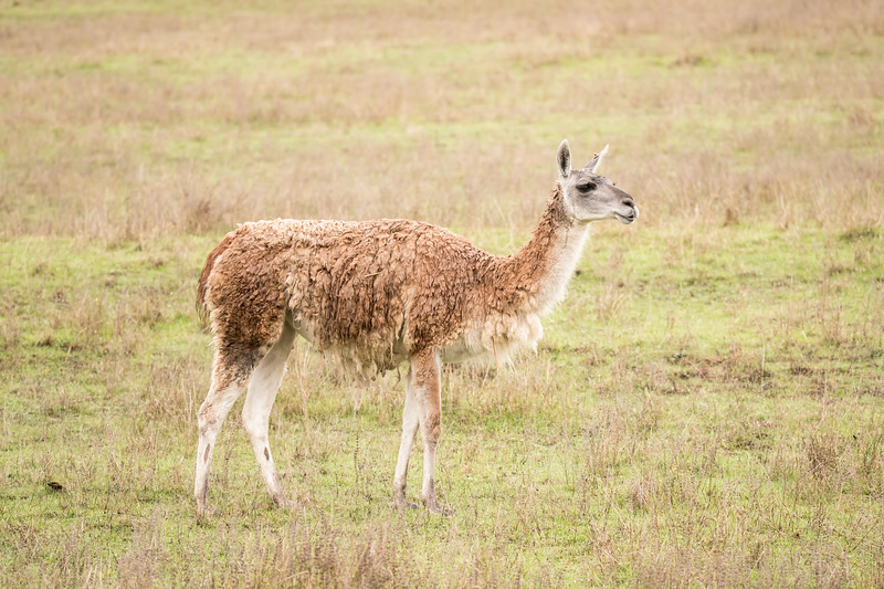 Guanaco live in the southern parts of South America.  It was raining the day we visited the park and this animal's dense coat was saturated with water.