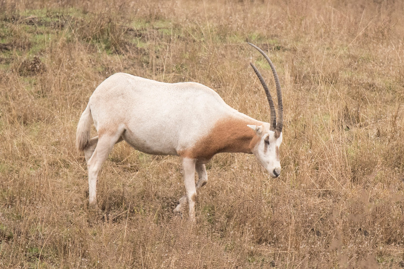 The Scimitar Oryx inhabited north Africa, but it was over hunted to the point that in 2000, it was declared extinct in the wild.  Today, there are several captive breeding programs with the intention of reintroducing these animals to their native range.