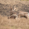 Fallow Deer originated in Eurasia but have been introduced to other parts of the world.  This is a mature buck and a fawn.
